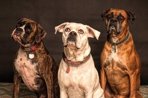 Be Pack Leader To Your Dog – How to Get Control of Your Dog