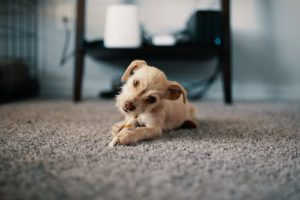 Removing Pet Urine Stains Carpet – Fast, Easy and CHEAP!