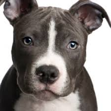 how to help pit bulls