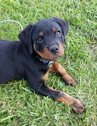 Potty Training Rottweiler Puppy